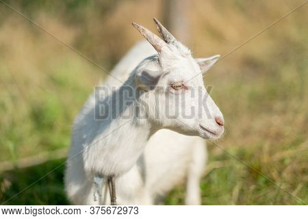 Young White Goat Eats Grass In A Summer Meadow. White Goat Grazes In The Meadow.