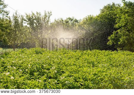 Potato Irrigation On The Field In Summer. Watering Potatoes. Growing Potatoes.