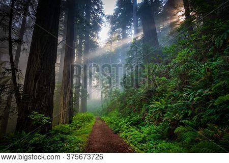 Dirt Road Through The Foggy Redwood Forest In California