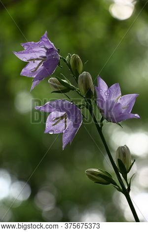 Escape Of A Campanula With Violet Flowers And Not Opened Buds In Water Drops.