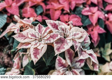 Pink Purple Poinsettia, Euphorbia Pulcherrima, Christmas Star. Selective Focus. Festive Background.