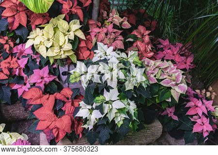 Different Varieties Of Christmas Star, Poinsettia Flowers Of Different Colors Closeup. Selective Foc
