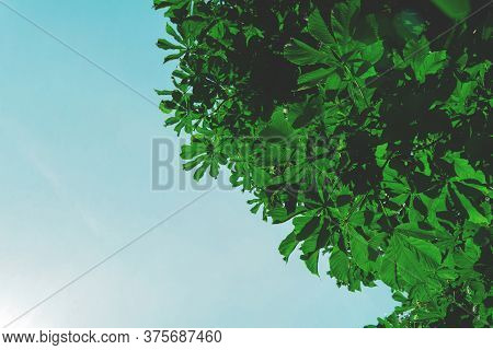 Background Of Bright Green Foliage Against The Blue Sky. Summer Nature Concept.