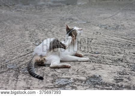The Cat Sit Lifting His Legs Scratching His Ears Is Merrily On Vintage Cement Floor.