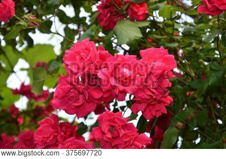 Inflorescence Of Red Roses On A Summer Day.