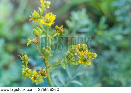 Detail Of A Flower Plant Rue Or Ruta Graveolens Outdoors