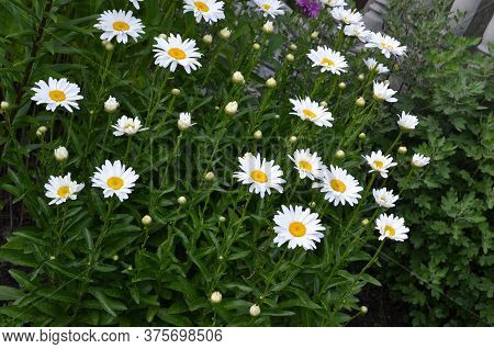 Many Chamomile Flowers Grow On The Infield.