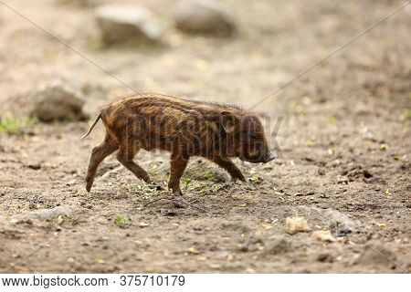 The Domestic Pig (sus Domesticus) Or Called Swine, Hog Or Pig, Porkling Is Running