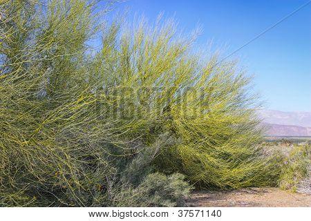 Vibrant Green Salt Cedar