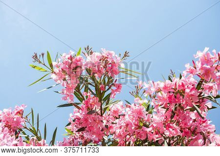 Close-up Of Pink Flowers In A Sunny Day. Romantic And Beautiful