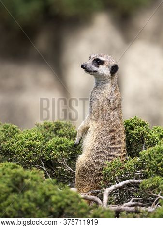 Meerkat On A Green Bush In A Clearing
