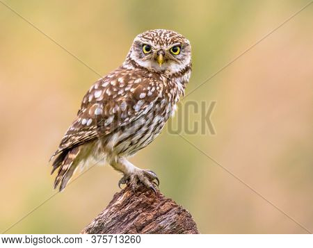 Little Owl (athene Noctua) Nocturnal Bird Perched On Log With Bright Background And Looking At Camer