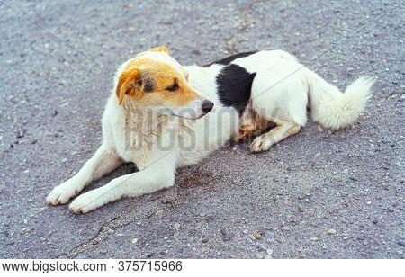 Homeless Dog Lies On The Ground.homeless Dog Lies On The Ground
