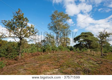 Heath landscape in a pinewood