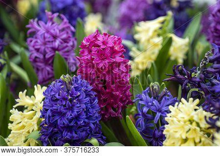 Beautiful Colorful Vietnamese Flowers Tien Ong Adorn A Flower Bed In Danang, Vietnam, Closeup