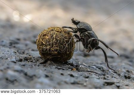Dung Beetle Solving Problems While Making An  Effort To Roll A Ball Uphill Through Gravel