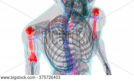 Human Skeleton Anatomy Humerus Bone 3D Rendering