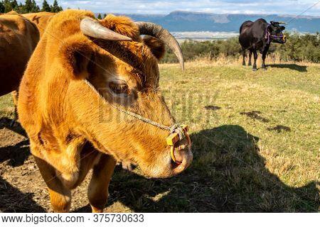 Close Up Brown Cow Head On The Field On Kyushu Island, Japan.