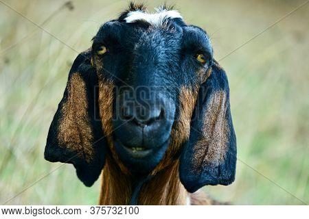 A Domestic Goat, Indian Goat Or Simply Goat (capra Aegagrus Hircus), Grazing In A Field