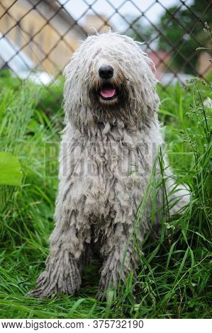 Komondor - A Hungarian Sheep-dog.