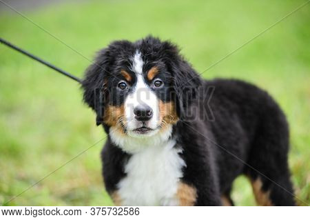 Cute Bernese Mountain Dog In Summer On Grass Background
