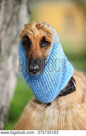 Afghan Hound In A Hat