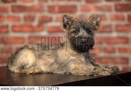 Border Terrier Puppy In The Studio