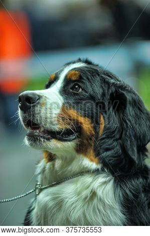 Bernese Mountain Dog Is A Breed Of Herding Dogs Originating From The Swiss Canton Of Bern