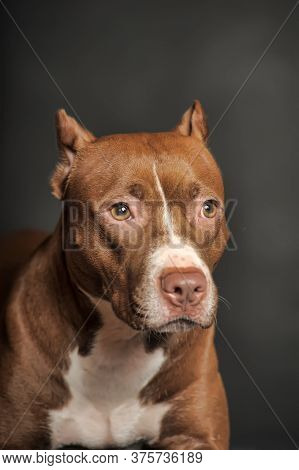 American Staffordshire Terrier Portrait On Gray Background In Studio