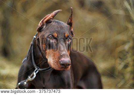 Brown Doberman