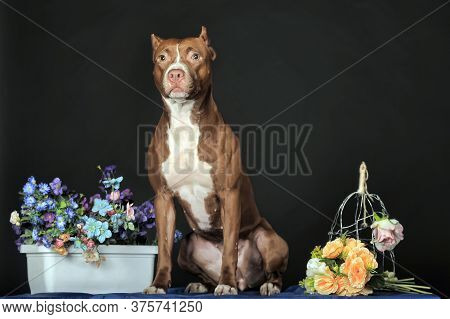 Pit Bull Terrier In Studio With Flowers