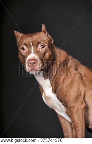 American Staffordshire Terrier, Close-up, On Dark Background