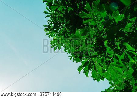 Background Of Bright Green Foliage Against The Blue Sky. Summer Nature Concept. Selective Focus.