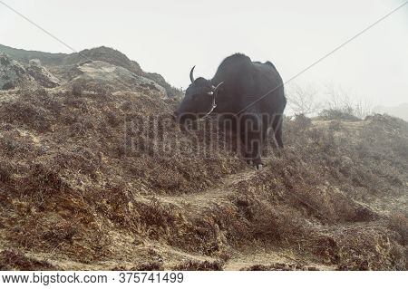 Beautiful Male Yak With Big Horns And Black Fur Stands On A Fog Mountain Hill Slope Of Himalaya, Nep