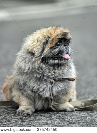 The Pekingese (also Known As The Lion Dog, Peking Lion Dog, Pelchie Dog, Or Peke) Is An Ancient Bree