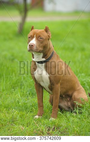 American Staffordshire Pit Bull Terrier Sits On The Grass