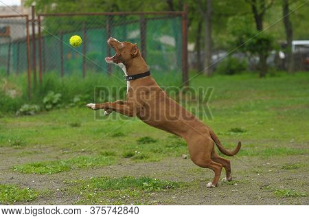 American Staffordshire Pit Bull Terrier Plays With A Ball In The Clearing