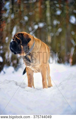Winter Walk In The Snow With A Dog Breed Mastiff