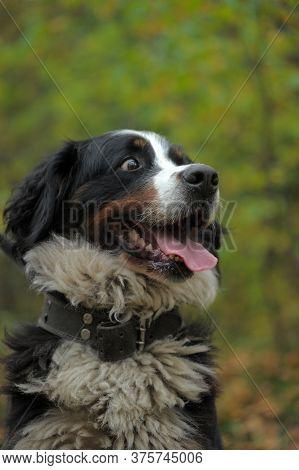 Portrait Of Bernese Mountain Dog (berner Sennenhund)