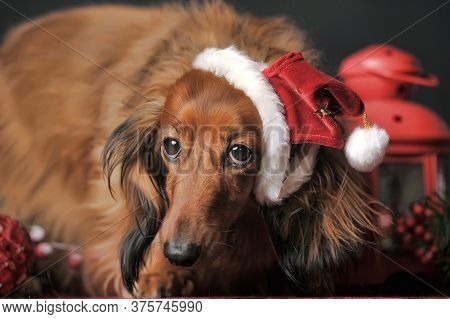 Long-haired Dachshund In A Christmas Hat