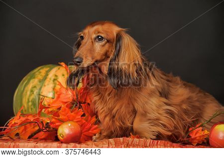 Longhaired Dachshund, Pumpkin And Autumn Leaves In Studio