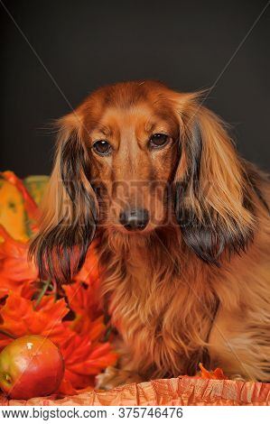 Longhaired Dachshund, Pumpkin And Autumn Leaves