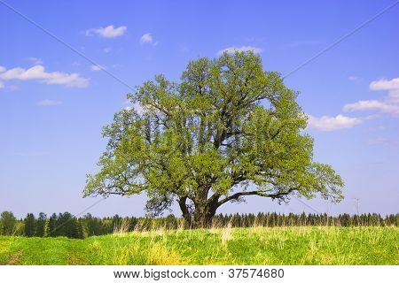Single Old Oak  In May.