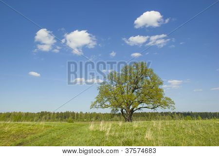 Single Old Oak With Fresh Leaves.