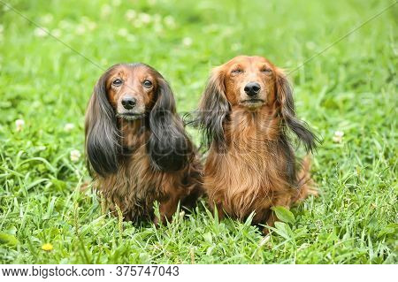 Two Long-haired Dachshunds On The Grass Background