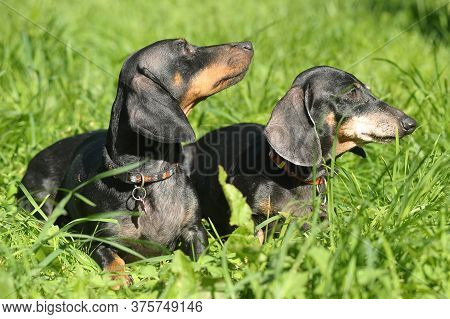 Two Dachshunds In The Summer On A Background Of Green Grass