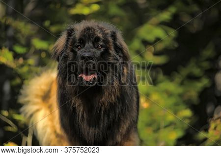 Leonberger Is A Large Breed Of Dog. This Breed Is Named After The City Where It Was Bred - Leonberg