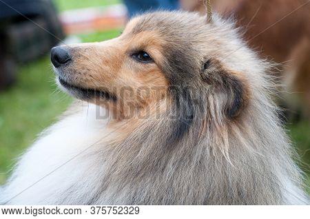 Portrait Of Little Cute Sitting And Smiling Sable Shetland Sheepdog - Sheltie