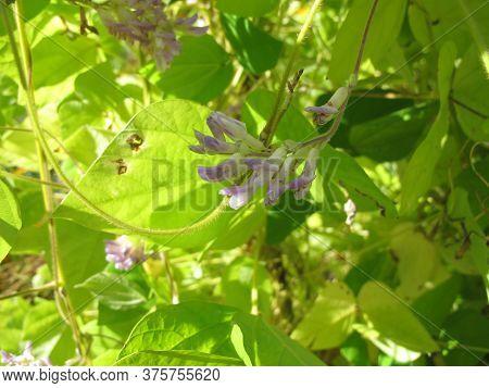 Potato Bean With Flowers, Apios Americana, In The Garden
