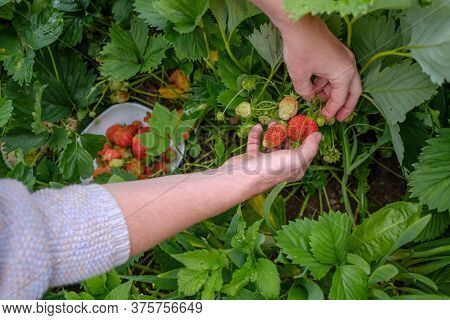 Female Hands Pick Strawberries. Fingers Carefully Push The Leaves Apart And Pick Red Berries. Harves